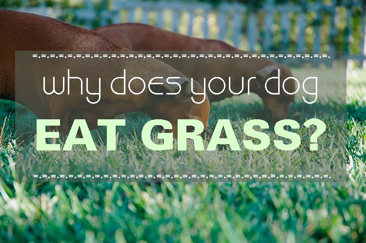Grass Good For Dogs To Eat