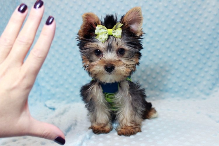 The Top 5 Best Food For Yorkie Puppy You All Need Just
