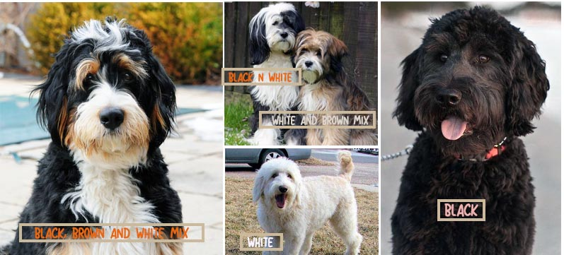 All About The Bernedoodle What They Are Like And How To